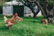 CARNE DI POLLO DALLA BOSNIA ERZEGOVINA: L'OK DELLA CEE